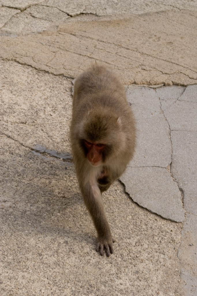 A monkey patrols near the top of Mt. Miyajima