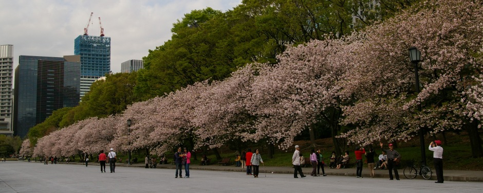 The last of the cherry blossoms in Tokyo